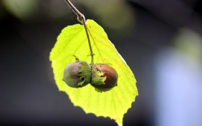 Hazelnuts, one of the delicious products of Italy